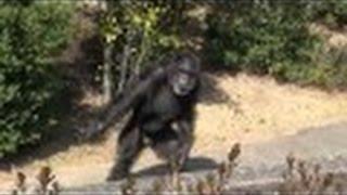 ジャンプして落ちたチンパンジー fell to jump chimpanzee犬山モンキーセンター