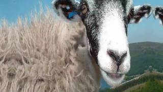 "AC/DC  ""Dirty Deeds""  Done with Sheep......FUNNY."