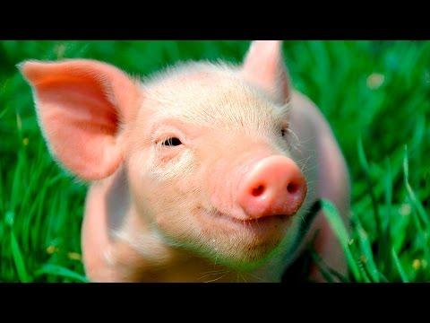 Мультфильмы для детей про свинку - Веселые видео - Большая