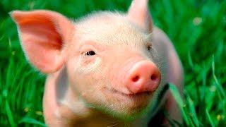 Смешные поросята - Funny pigs - Подборка приколов