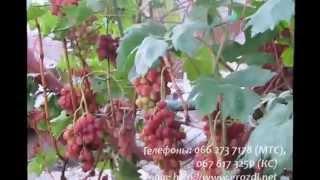 видео Виноград Анжелика