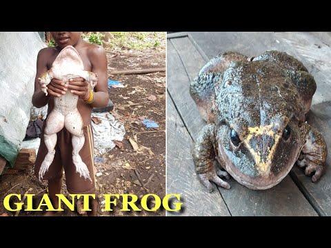 'Cornufer Guppyi' One Of Biggest Frog Caught In Solomon Islands