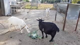 예쁘고 귀여운 염소들에게 남은 채소를 주니 얌냠냠 해요