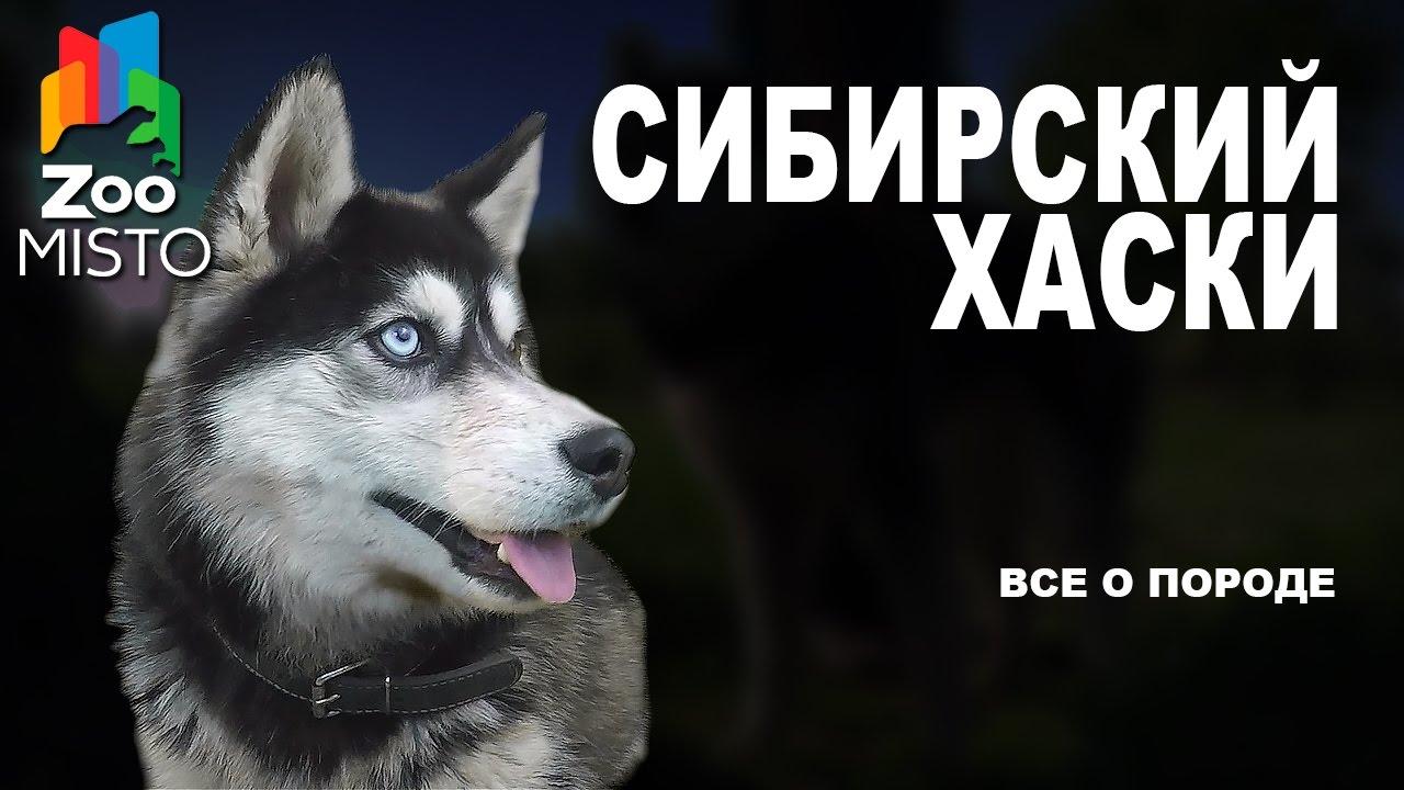 Сибирский Хаски - Все о породе собаки | Собака породы - Сибирский Хаски