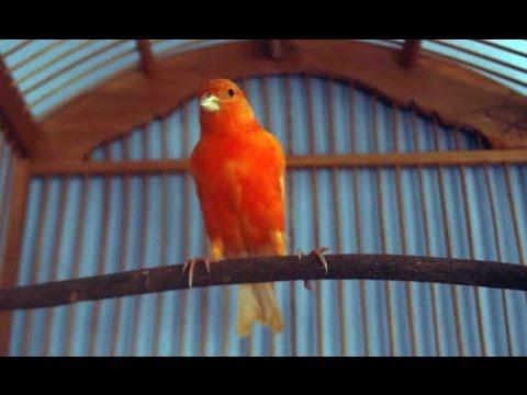 Download Lagu Pesona Burung Kenari Merah Pandai Menari dan Merayu Cewek Cantik dan Seksi