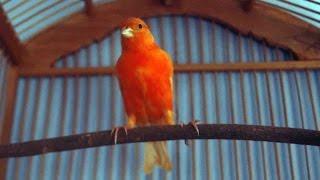 Pesona Burung Kenari Merah Pandai Menari dan Merayu Cewek Cantik dan Seksi