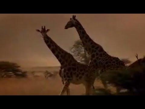 Animal activist Joanna Lumley on giraffe conservation project - BBC wildlife