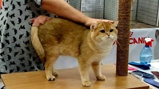 Шикарный Золотой БРИТАНЕЦ - Роскошный Кот Британской Породы | ПОРОДЫ КОШЕК