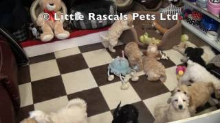 Little Rascals Uk Breeders New Litter Of Cockapoo Puppies