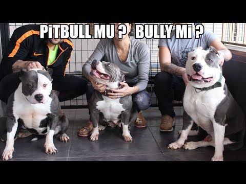BULLY AİLESİ ( PİTBULL MU ? BULLY Mİ ? ) En Çok Sorulan O Soru ! Efsane Köpekler American Bully XL