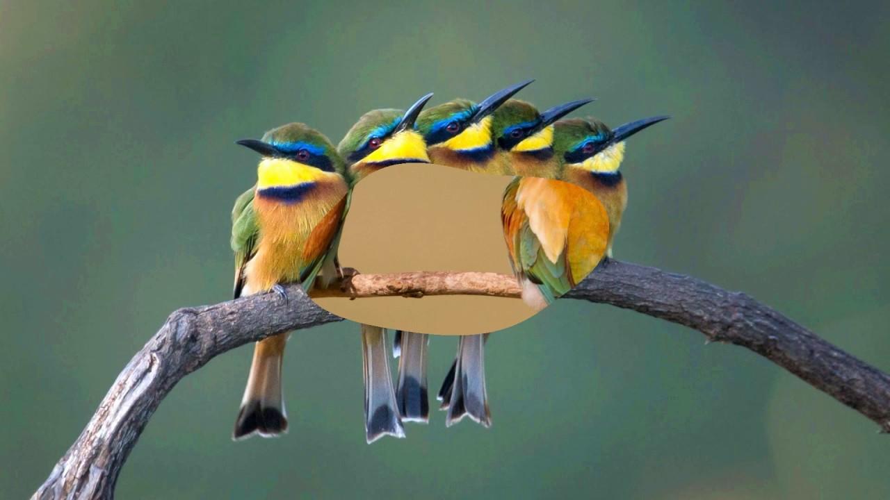 Cute Bees Wallpaper Bee Eater Birds Hd1080p Youtube