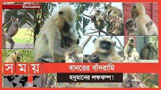 Exclusive: আঘাত পেলেই থানায় বিচার চায় 'মেধাবী' হনুমানগুলো! | Social Life of Monkeys and Entellus