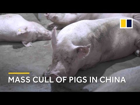 20,000 pigs culled amid African swine fever outbreak