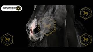 صفات الحصان الأدهم كما وصفه الرسول صلى الله عليه وسلم