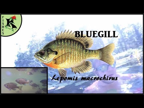 Swimming With Sunfishes: Fun Bluegill Facts - Relax