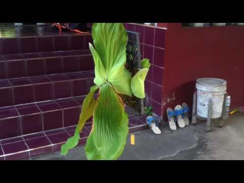 Platycerium Elephantotis - Staghorn fern - Elkhorn - 鹿角蕨
