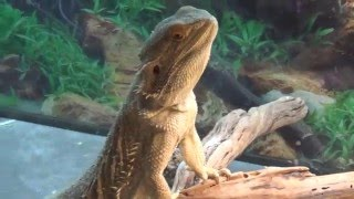 Rocky & Roxxi - My Bearded Dragons Enjoying Dinner Tonight!