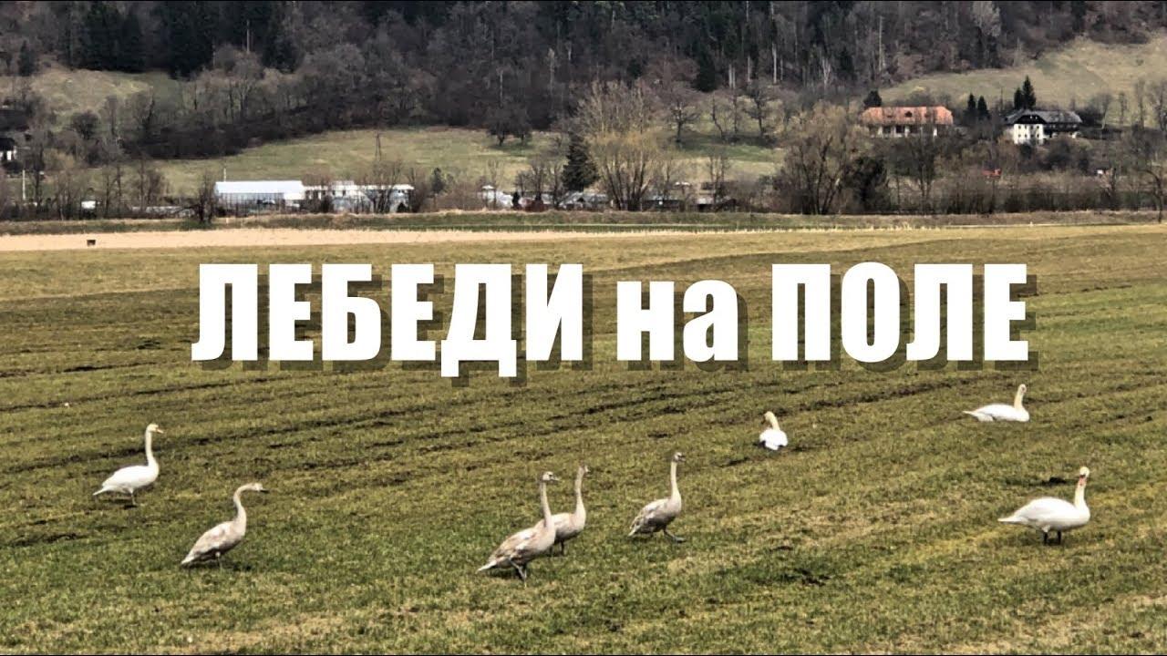 Белые лебеди, стая на поле - YouTube