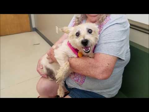 """Cairn Terrier """"Nellie"""" - For adoption with Cairn Rescue USA"""