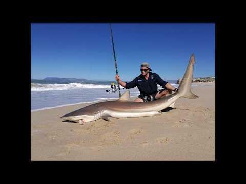 CAPE TOWN BRONZE WHALER SHARKS!