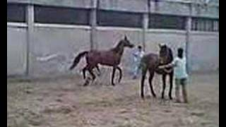 at çiftleşmesi copulating horse mating