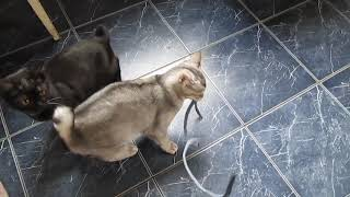 новая порода кошек Топаз-бобтейл, редкие кадры!
