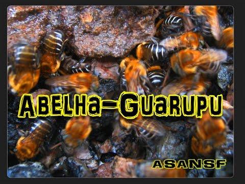 Abelha-Guarupu (Melipona Bicolor). Aprendendo sobre abelhas nativas 15