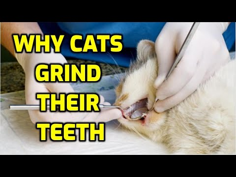 What Are The Causes Of Teeth Grinding In Cats?