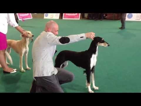 World dog show 2013 Saluki female
