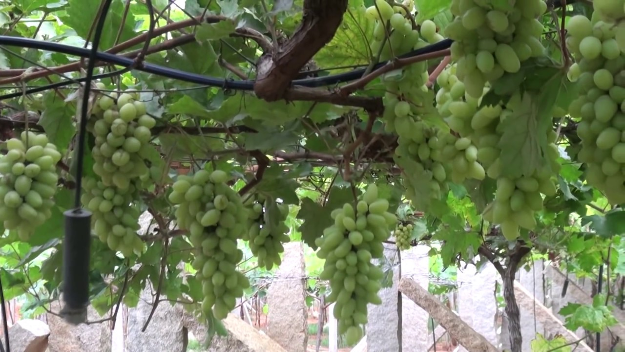 How Grapes Are Grown Youtube