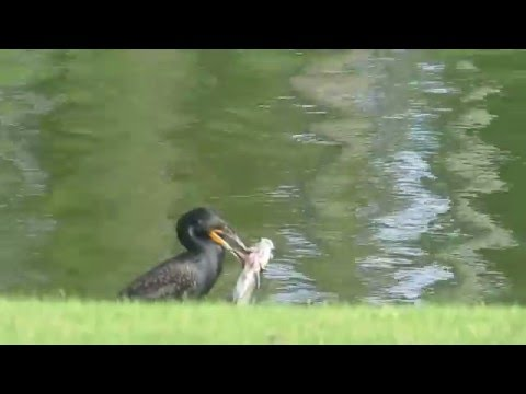 Cormorant (bird) eating large Cat Fish