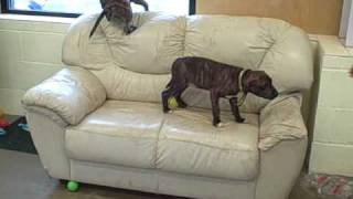 Dogs Trust West London - Staffie/mastiff Puppies