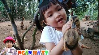 Đi thả đàn ngan cho con ngan con vịt con gà ăn cám trong sân ❤Ngân hà TV❤