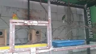 Koloni Burung Lovebird dengan modal 2jt