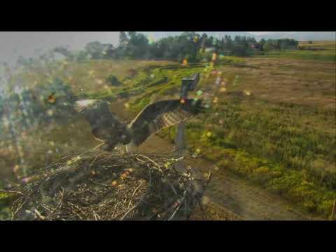 Osprey Nest - Charlo Montana Cam 08-25-2017 07:09:27 - 08:09:27