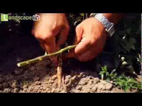 как привить розу к шиповнику пошаговая инструкция с фото - фото 4