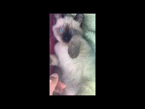 Siamese/ American Curl Kitten