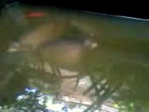 Kolam Gurame belakang rumah