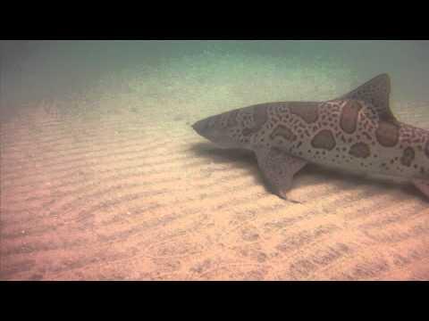 Leopard sharks of La Jolla 2011