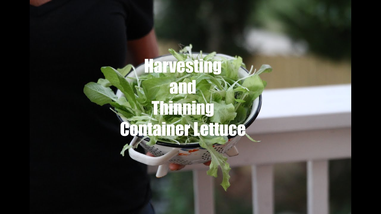 first winter garden series 6 how to harvest and thin container