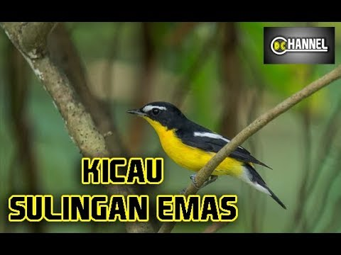 Download Suara Pikat Pelanduk Topi Hitam Video dan Lagu MP3 - Harian ... e9eb211ac9