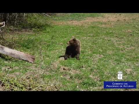 La osezna Éndriga regresa a su hábitat natural en Asturias tras recuperarse en Cantabria
