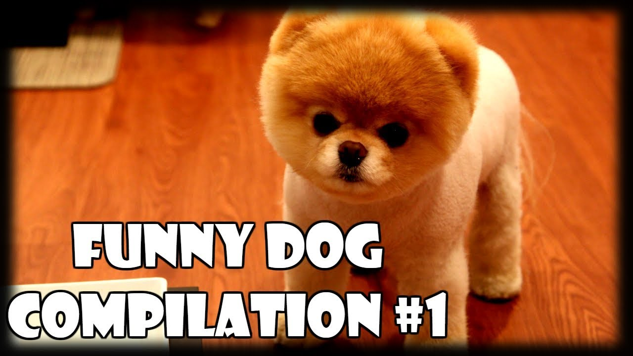 Image of: 40 So Funny Dogs Compilation 1 Try Not To Laugh Challenge Funny Dog Videos Vines 2018 Video Now Funny Dogs Compilation 1 Try Not To Laugh Challenge Funny Dog