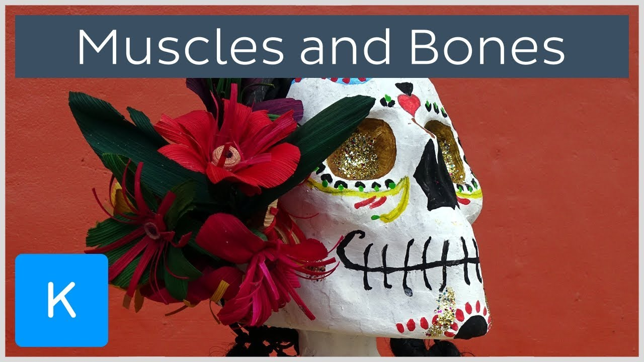 6 fun facts about muscles and bones - Human Anatomy | Kenhub - YouTube