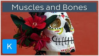 6 fun facts about muscles and bones - Human Anatomy | Kenhub