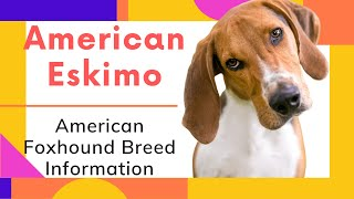 American Foxhound Breed Information And Personality