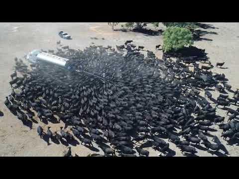 Vacas sedientas rodearon un camión de agua