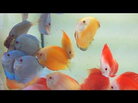 Diskus-Fütterung Mit Gefrorenen Artemia-Nauplien | Feeding Discus With Frozen Brine Shrimp