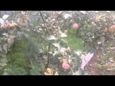 Кандиль орловский яблоня