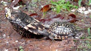 Eastern Box Turtles Making Love in the Rain